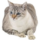 Diabetes in Elderly Cats