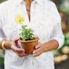 Cómo cultivar chía
