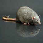 What are the dangers of cleaning up rat feces?