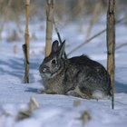 When snow covers the ground, rabbits seek out new food sources - including tree bark.
