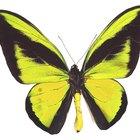 Birdwing Butterfly Adaptations