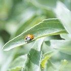 Escarabajos naranjas y negros de jardín