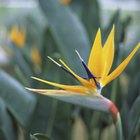 Cómo cultivar el ave del paraíso a partir de las semillas