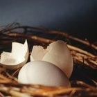 Sinais de uma calopsita botando um ovo
