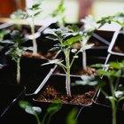 Cómo trasplantar tomates a macetas más grandes