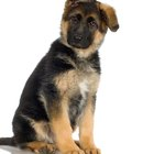 How to Train a German Shepherd Puppy to Live With a Cat