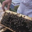 Cómo derretir y limpiar la cera de abeja