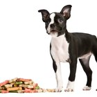 Description of a Boston Terrier
