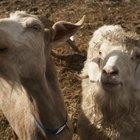 Pode-se dar vermífugo para uma cabra que está amamentando?