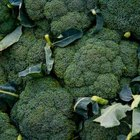 Broccoli is a winter vegetable that is harvested either in the winter or early spring.