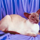 Types of Siamese Cats & Kittens
