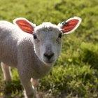 Por quais razões uma ovelha não amamentaria seu filhote?