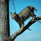 How to sedate a feral cat