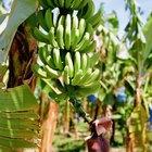Cómo cultivar un árbol de plátano en un contenedor