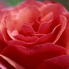 ¿Cómo hacer para que un pimpollo de rosa se abra?