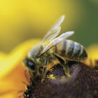 ¿Qué mata a las abejas y a las avispas?