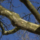 How to Tell If a Sycamore Tree Is Sick