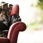 Labrador retriever americano contra el labrador retriever inglés