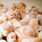 Como chocar ovos e virá-los durante a última semana de incubamento