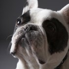 How to Bathe a French Bulldog