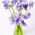 How to deadhead sweet peas
