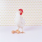 Signs of Chickens Laying Eggs