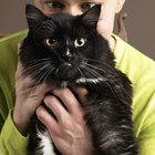 Idiopathic Dermatitis in Cats