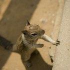 Curiosidades sobre a reprodução de esquilos