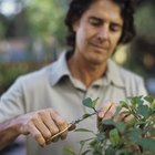 Cómo cultivar mangles con la técnica de bonsai