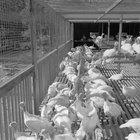 Cómo construir un corral para gallinas