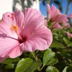 Hibiscus produces attractive flowers.