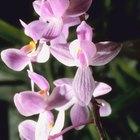 ¿Cuál es el tiempo de vida de una orquídea?