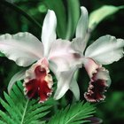 Cómo revivir una orquídea