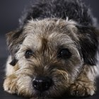 Grooming and Thinning a Border Terrier