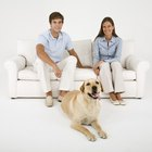 How to Reduce Shedding in a Yellow Lab Dog