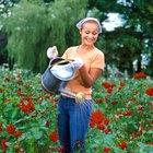 Cómo propagar rosas usando papas