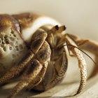 ¿Qué animales se alimentan de cangrejos ermitaños?