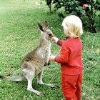 Cómo tener un canguro como mascota