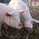 Cómo colocar un aro de nariz a un cerdo
