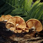 Cómo cultivar hongos morchella