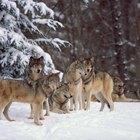 O que o lobo cinzento come?