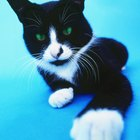 What Are Black & White Short-Haired Cats Called?
