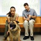 Testículos hinchados en los perros
