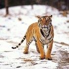 Lo que comen los tigres