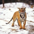 O que os tigres comem