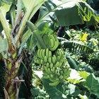 Por que as folhas da minha bananeira estão ficando amarelas e morrendo?