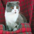 Characteristics of a Scottish Fold