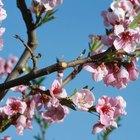 ¿En qué mes florece el duraznero?