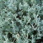 Evergreen bush identification