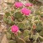 ¿Qué plantas suculentas resisten a las temperaturas frías?